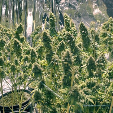 growing weed, marijuana grow, cultivate cannabis, beginners guide, grow your own